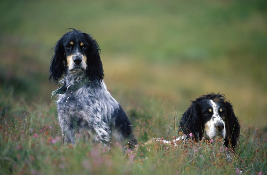 Stock Photo: 4272-29042 English setters on the moor
