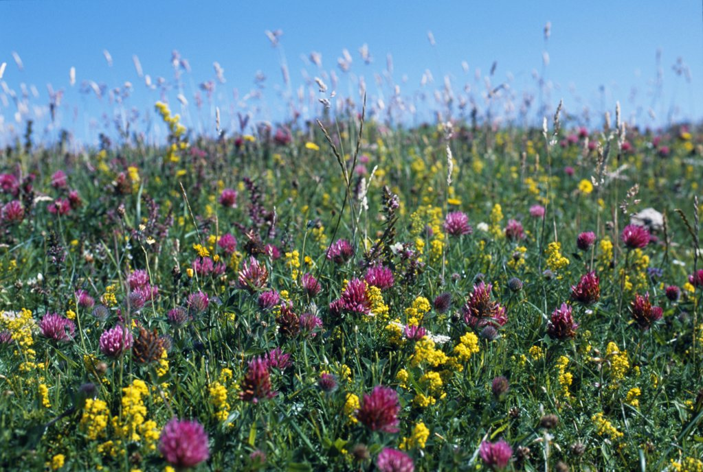 Wild flowers cover much of the machair on the island of Coll : Stock Photo
