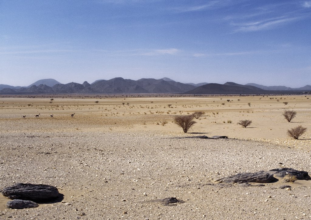 Lying at 500 metres above sea level, the Bayuda desert is one of the most easterly extensions of the Sahara.  It has a mainly gravel surface with sparse vegetation. The four gazelles running in the middle distance are Dorcas gazelles, the smallest gazelles with proportionally the longest limbed. : Stock Photo