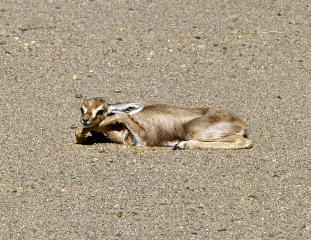 Stock Photo: 4272-31257 A newborn Dorcas gazelle in the Nubian Desert. They are the smallest gazelle with proportionally the longest limbed. They live in semi desert regions where succulents provide them with all the water they need.