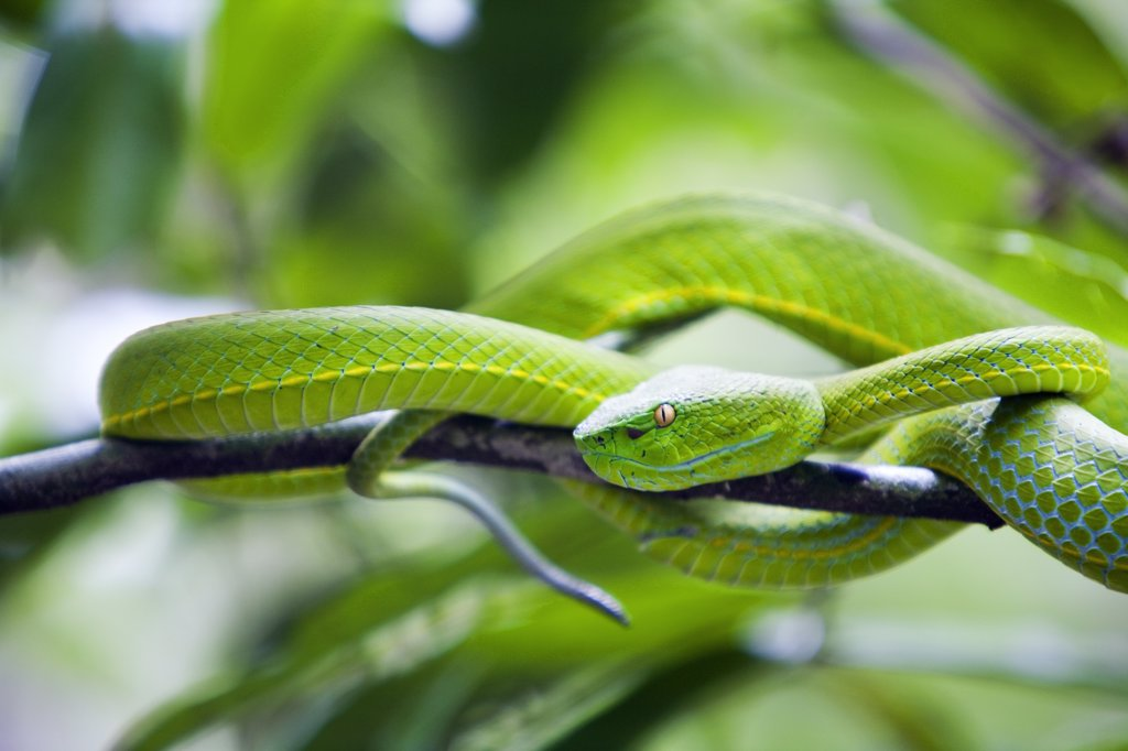 Stock Photo: 4272-32353 Thailand, Nakhon Ratchasima, Khao Yai.  White-lipped viper in the Khao Yai National Park.  Covering 2170 sq kilometres, Khao Yai incorporates one of the largest intact monsoon forests in Asia and is a UNESCO World Heritage site.