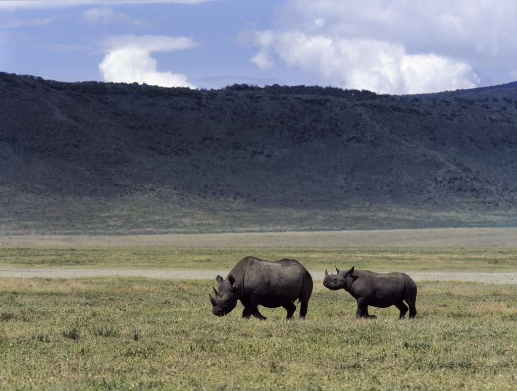 Stock Photo: 4272-32990 A black rhino mother and offspring are dwarfed by their surroundings in the world famous Ngorongoro Crater. The craters 102 square mile floor is spectacular for wildlife. This feature is in fact a caldera, the largest unbroken, unflooded caldera in the world.