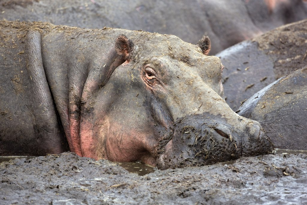 Stock Photo: 4272-33111 Tanzania, Katavi National Park. A hippo basks in a mud wallow as the Katuma River dries at the end of the long dry season in the Katavi National Park.