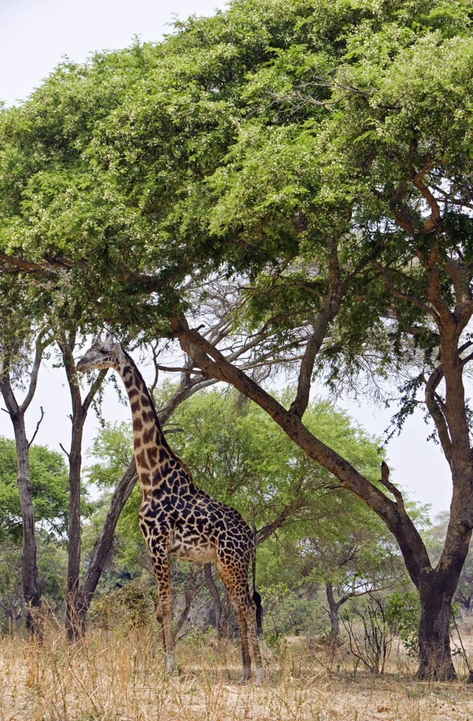 Tanzania, Katavi National Park. A Masai giraffe under large acacia trees. : Stock Photo