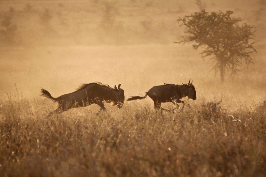 Tanzania, Serengeti. Gnu leap through the grass. : Stock Photo