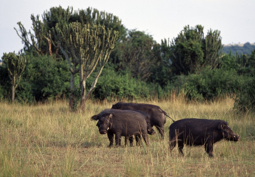 Stock Photo: 4272-33679 A group of Giant Forest Hogs (Hylochoerus meinertzhageni) graze near the Kazinga Channel in Queen Elizabeth National Park.  These heavily built pigs, covered in long black hair, are uncommon throughout their range east of the Great Rift Valley.