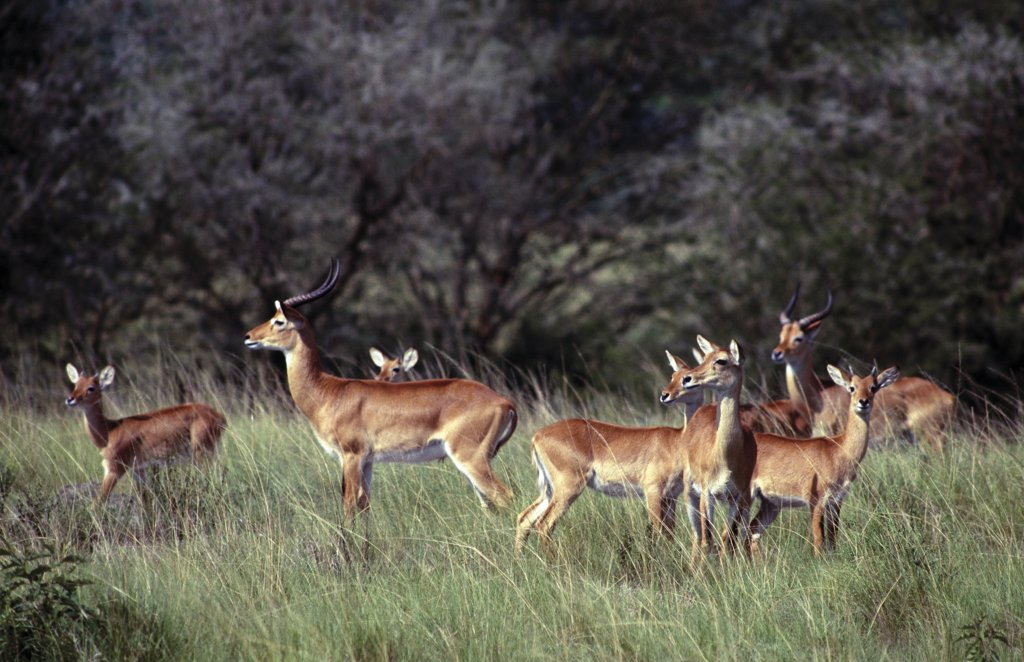 Stock Photo: 4272-33686 Uganda Kob in the Ishasha area of Queen Elizabeth National Park.  These antelopes prefer grazing on floodplain grasslands and are numerous in Queen Elizabeth National Park.