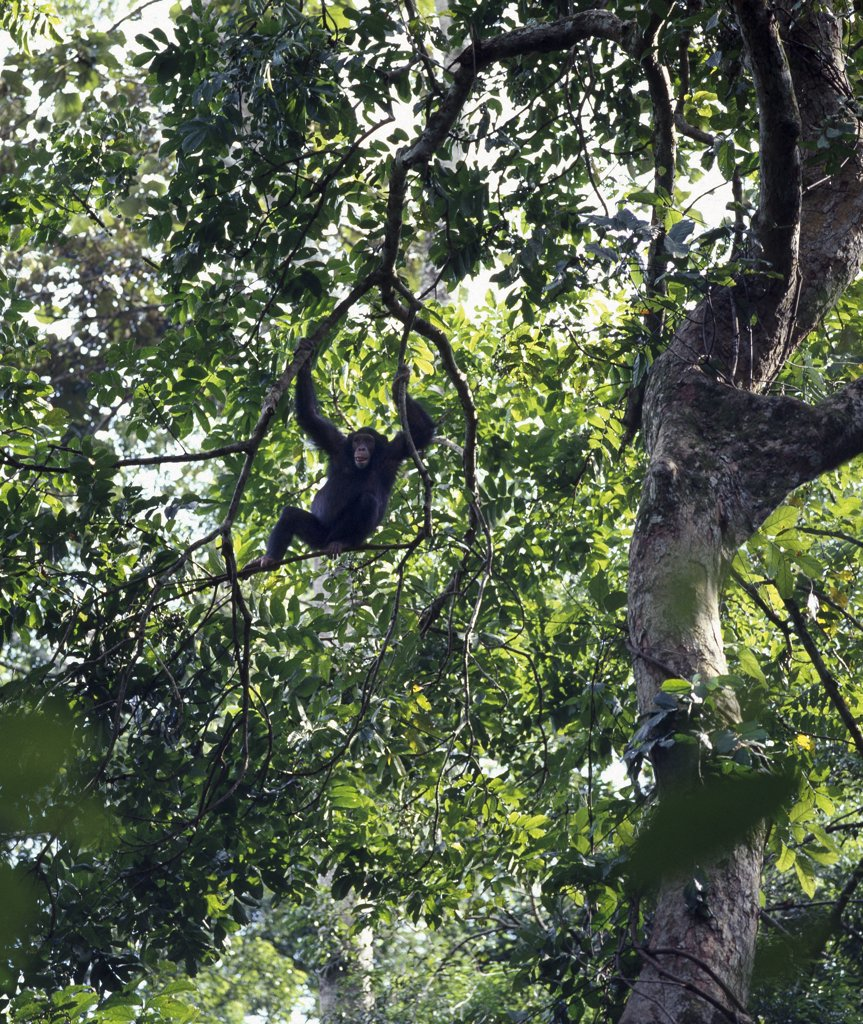 A chimpanzee swings in the forest canopy of the Kyambura Gorge, a small but beautiful forested area at the base of the Rift Valley escarpment south of Lake George. : Stock Photo