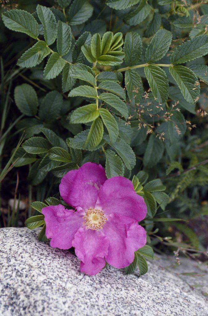 Stock Photo: 4272-34042 Prickly Rose (Rosa acicularis)