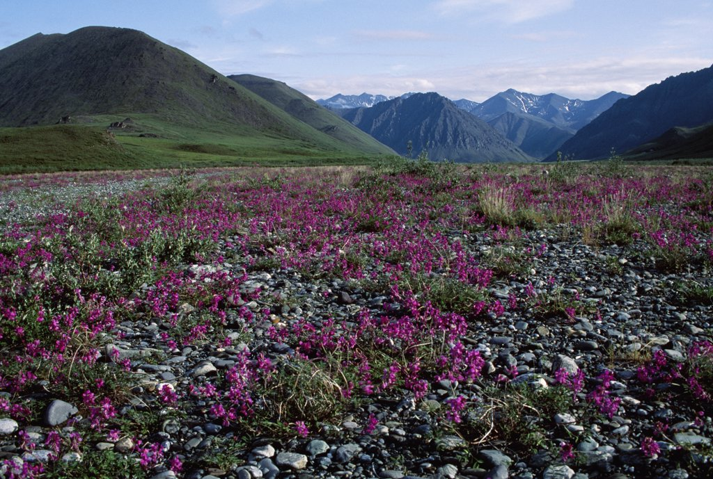 Stock Photo: 4272-34141 A meadow of Wild Sweet Pea (Hedysarum mackenzii) beside the Kongakut river