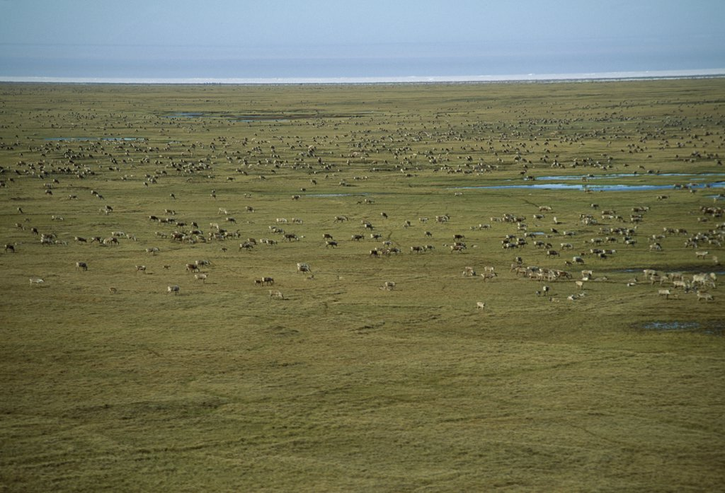 Vast herds of caribou (Rangifer tarandus) feed on the tundra and muskeg of the North Slope : Stock Photo