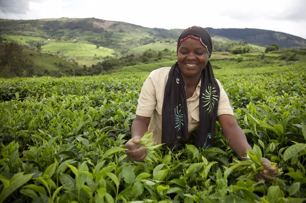 Burundi. A lady picks tea on a large tea estate. : Stock Photo