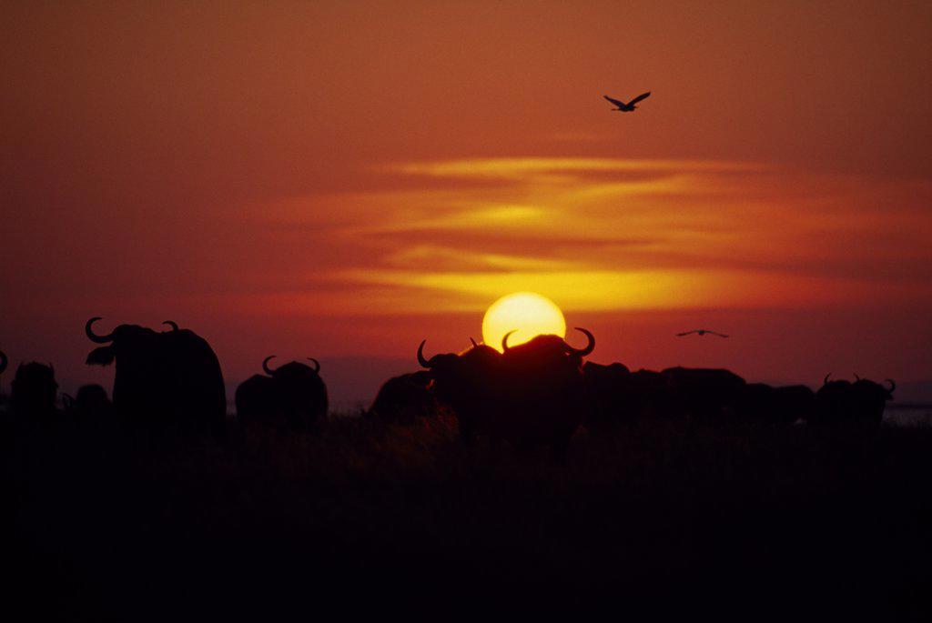 Stock Photo: 4272-36147 Zimbabwe, Matusadona. African Buffalo (Syncerus caffer) on the shore of the lake at Matusadona at sunset.