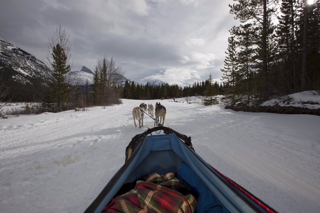 Dogsledding near Canmore Alberta in the Canadian Rockies : Stock Photo