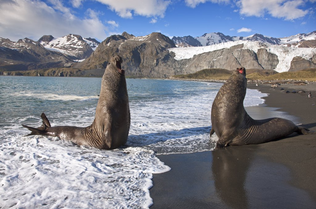 Stock Photo: 4272-37972 Two male Southern Elephant Seals rear up, booming and roaring, ready to fight over females or territory. These seals are the largest in the world with males weighing up to 4 tons.