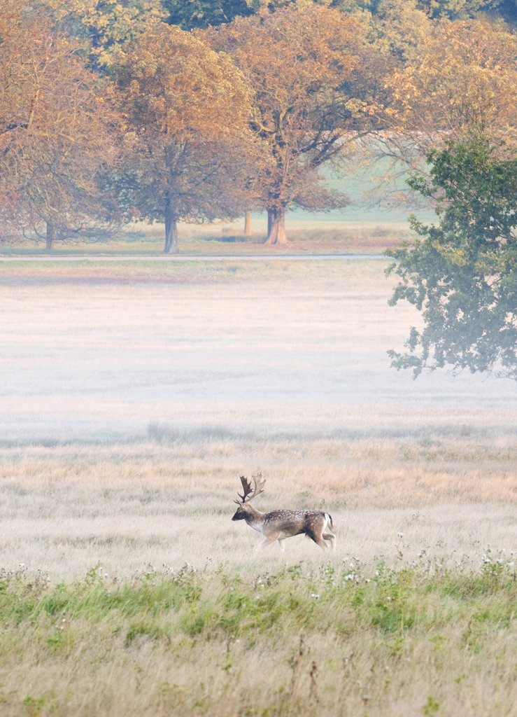 Stock Photo: 4272-38559 Fallow buck in Richmond Park during rutting season, Surrey, UK