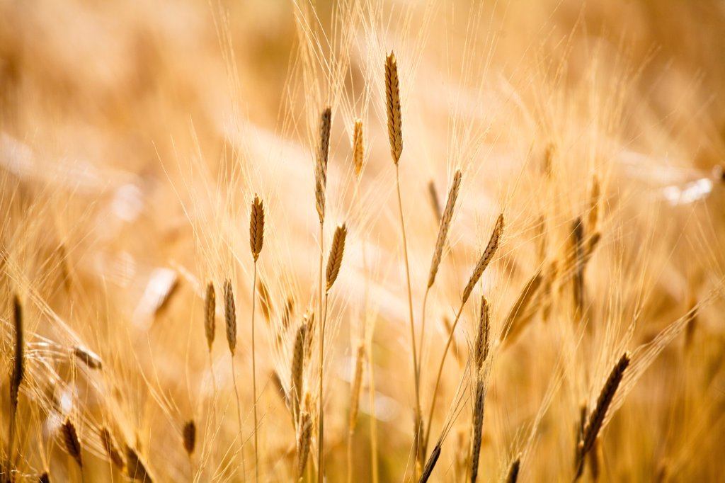 Production of wheat in Provence, France : Stock Photo