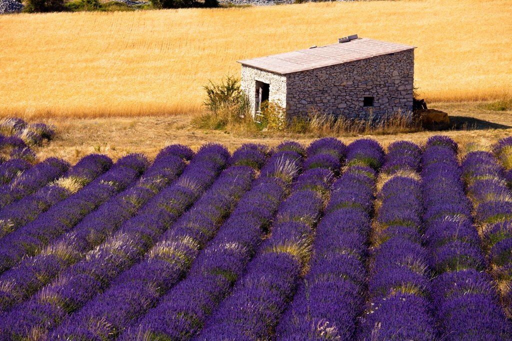 Stock Photo: 4272-41694 Blooming field of Lavender , Lavandula angustifolia, Vaucluse, Provence Alpes Cote dAzur, Southern France, France