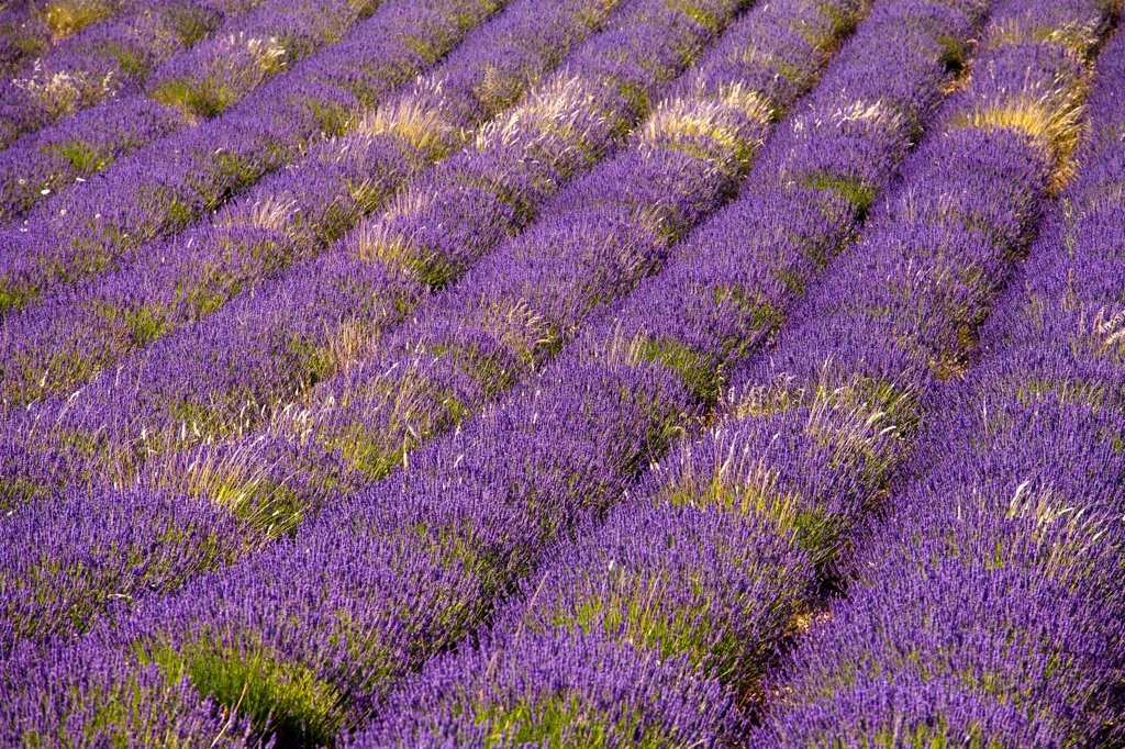 Blooming field of Lavender , Lavandula angustifolia, Vaucluse, Provence Alpes Cote dAzur, Southern France, France : Stock Photo