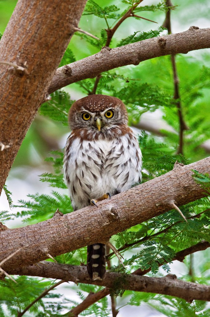 A diminutive Pearl spotted Owlet in Tsavo East National Park. : Stock Photo