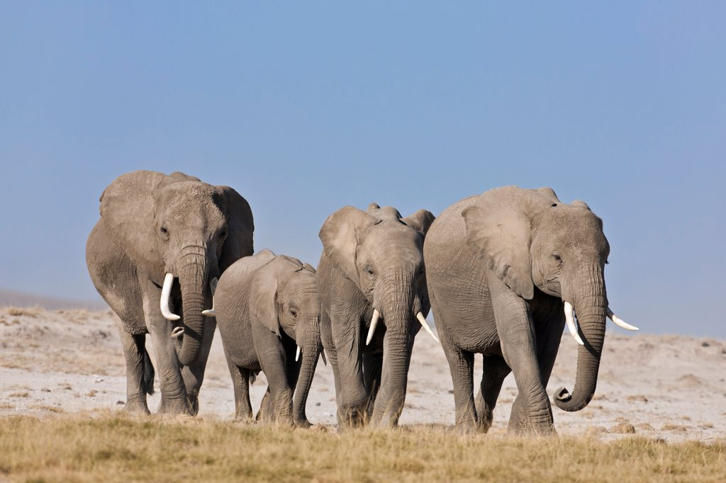 Stock Photo: 4272-42206 Elephants cross the dusty plains at Amboseli.