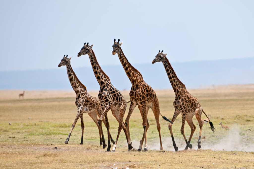Stock Photo: 4272-42216 Maasai giraffes running across open plains at Amboseli.