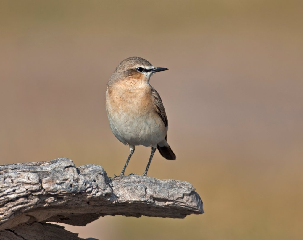 Stock Photo: 4272-42223 A Northern Wheatear.