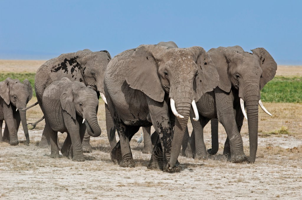 Stock Photo: 4272-42228 A herd of elephants move to new feeding grounds in the permanent swamps at Amboseli.