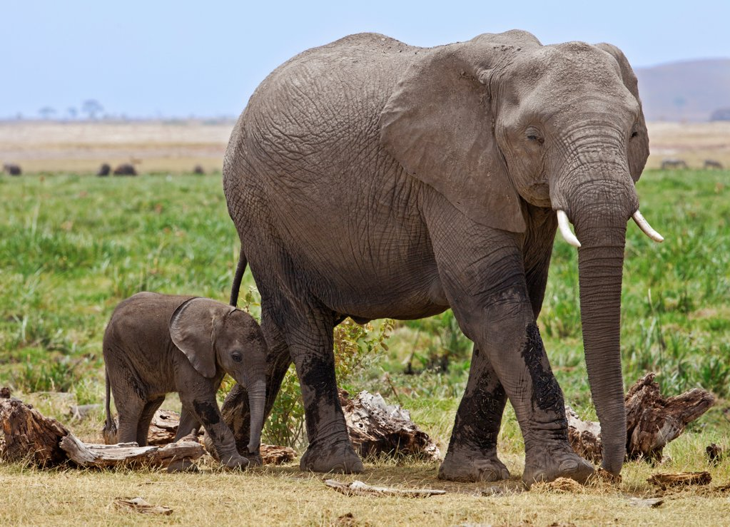 Stock Photo: 4272-42230 A baby elephant follows its mother beside the permanent swamps at Amboseli.