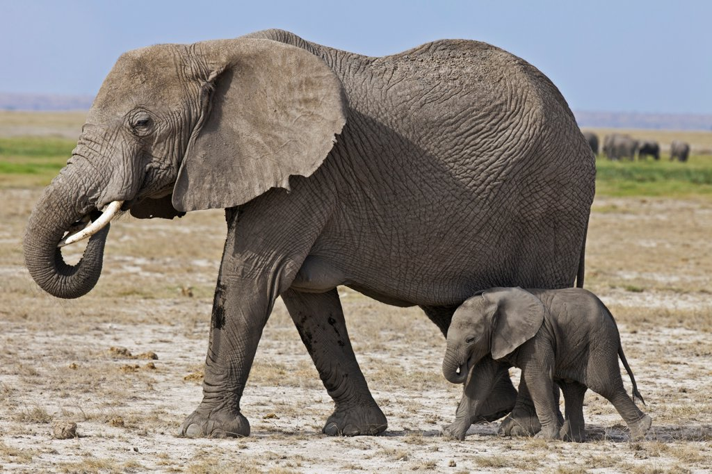 Stock Photo: 4272-42232 A baby elephant follows its mother beside the permanent swamps at Amboseli.