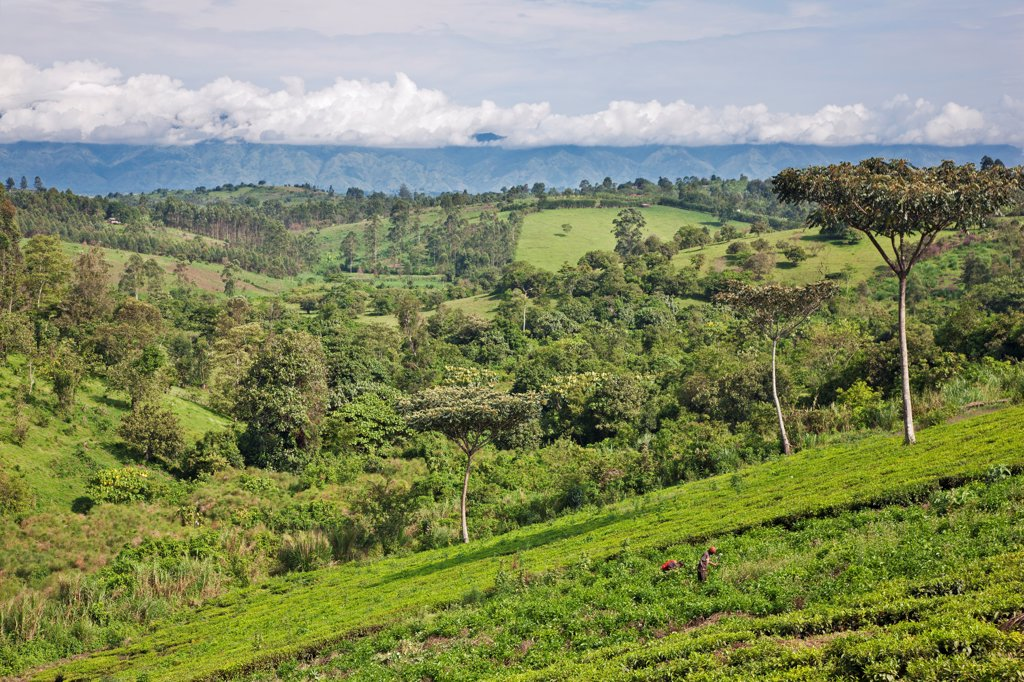 Stock Photo: 4272-43338 A distant view of the Rwenzori Mountains from fertile farming country close to Fort Portal, Uganda, Africa