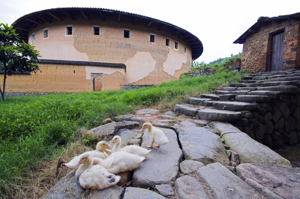 China, Fujian Province, Hakka Tulou round earth buildings, ducks to a stone path at the Unesco World Heritage site : Stock Photo