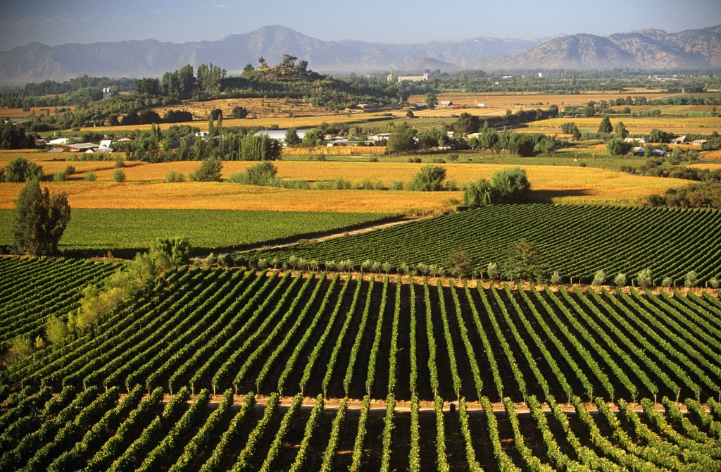 Stock Photo: 4272-6471 Chile, Region V, Santiago. Cousino Macul Vineyards, Central Chile