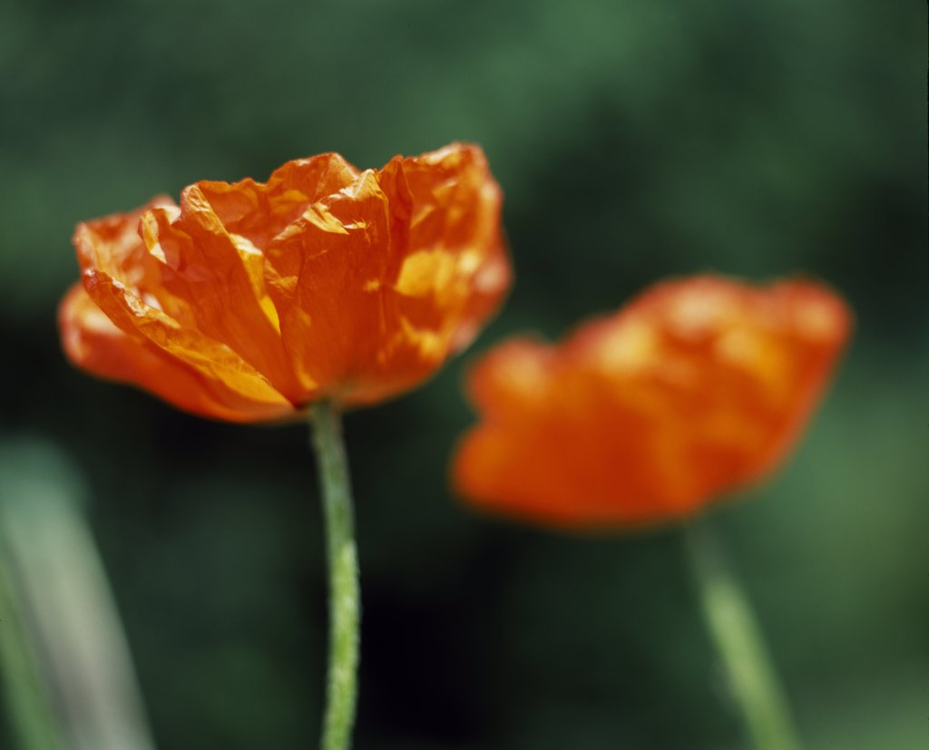 Oriental poppies : Stock Photo