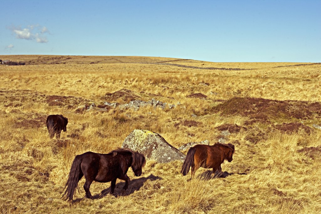 Stock Photo: 4272-8030 Dartmoor ponies on Fox Tor Mire