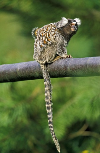 Common Marmoset, Callithrix Jacchus, Adult Standing On Branch : Stock Photo