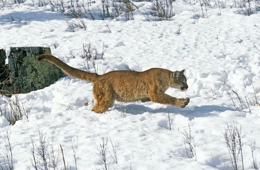 Stock Photo: 4273-10058 Cougar Puma Concolor, Adult Running Through Snow, Montana