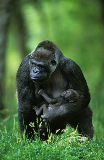 Stock Photo: 4273-10085 Gorilla, Gorilla Gorilla, Female With Baby