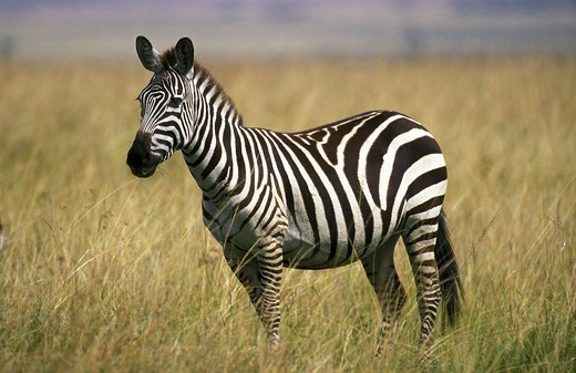 Stock Photo: 4273-10235 Burchell'S Zebra, Equus Burchelli, Adult, Masai Mara Park In Kenya