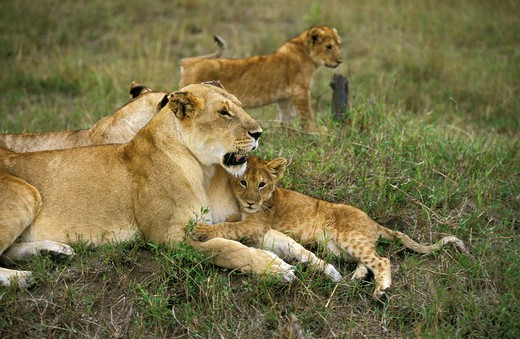 Stock Photo: 4273-10263 African Lion Panthera Leo, Mother With Cub, Kenya