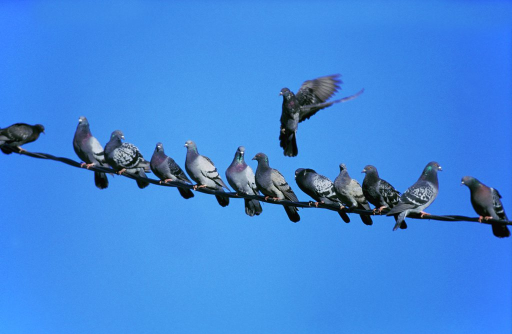 Stock Photo: 4273-10492 Rock Dove, Columba Livia, Adults Standing On Electric Wire