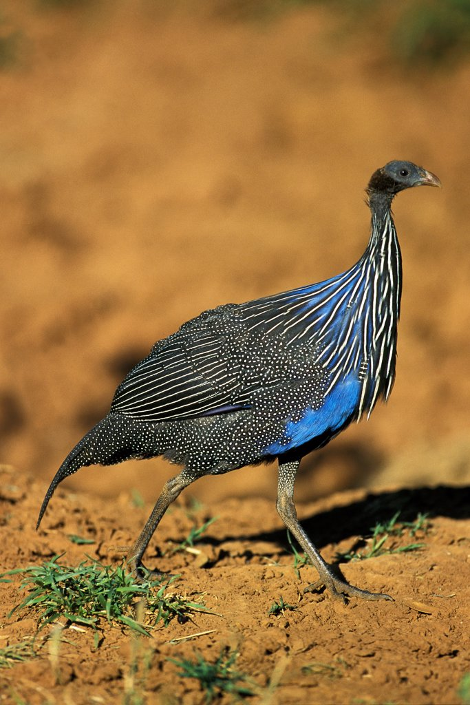 Stock Photo: 4273-10503 Vulturine Guineafowl Acryllium Vulturinum, Adult, Kenya