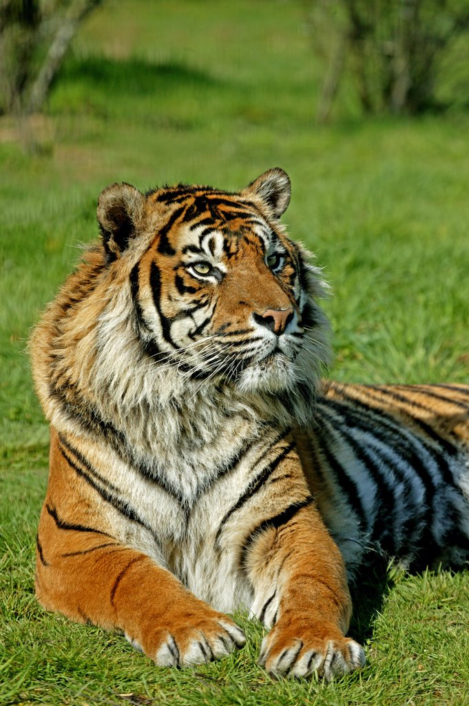 Stock Photo: 4273-10550 Sumatran Tiger, Panthera Tigris Sumatrae, Adult Laying On Grass