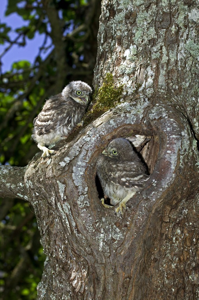 Little Owl, Athene Noctua, Young Standing At Nest Entrance, Normandy : Stock Photo