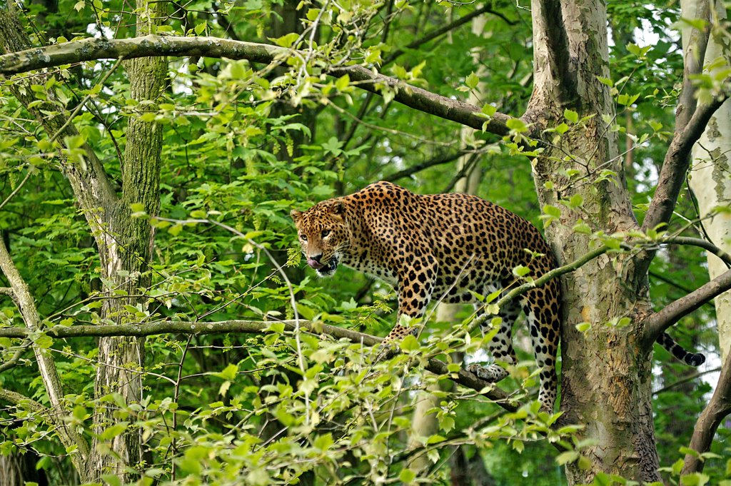 Stock Photo: 4273-10784 Sri Lankan Leopard, Panthera Pardus Kotiya, Adult Standing In Tree