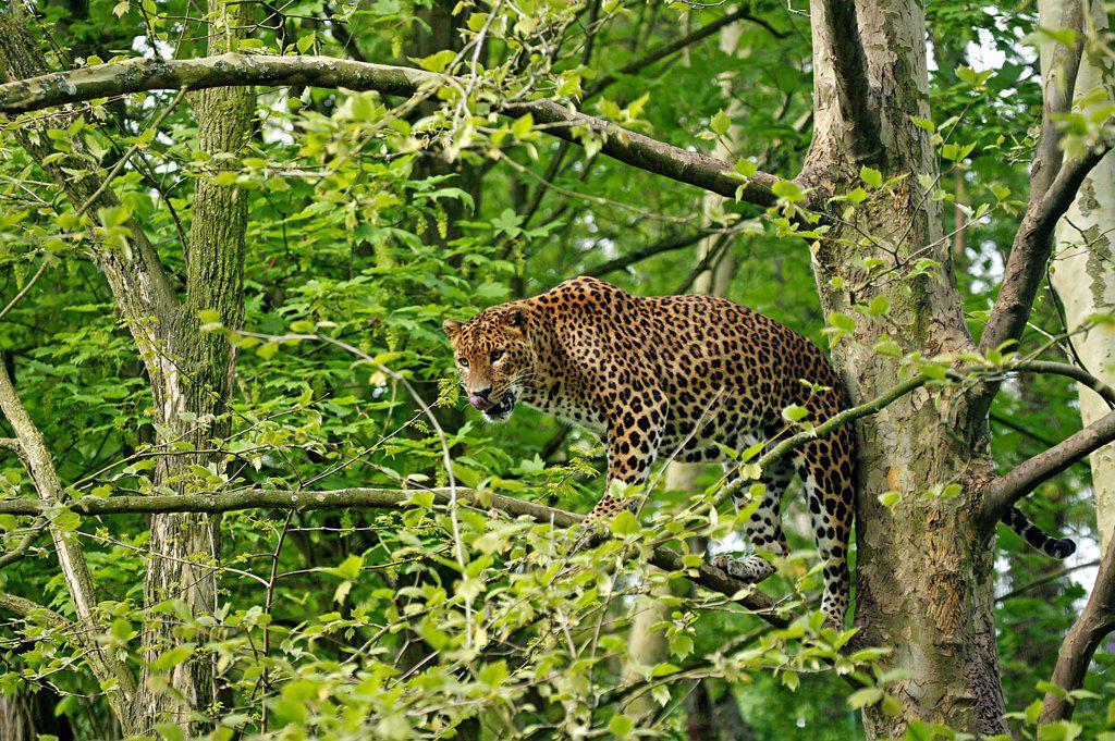 Sri Lankan Leopard, Panthera Pardus Kotiya, Adult Standing In Tree : Stock Photo