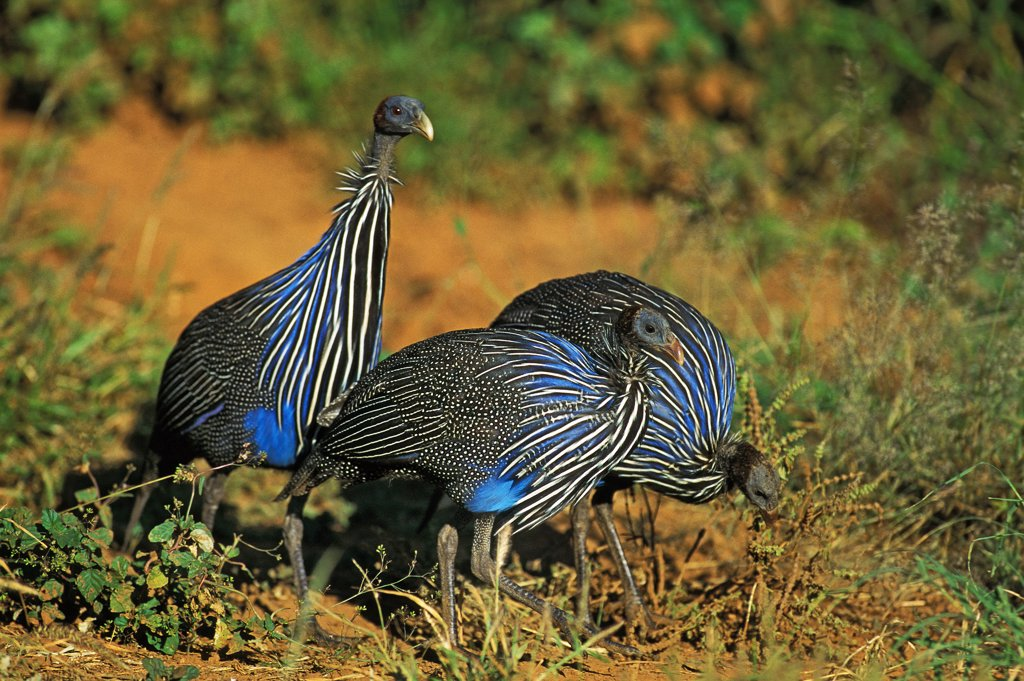 Stock Photo: 4273-10828 Vulturine Guineafowl Acryllium Vulturinum, Group Of Adults, Kenya