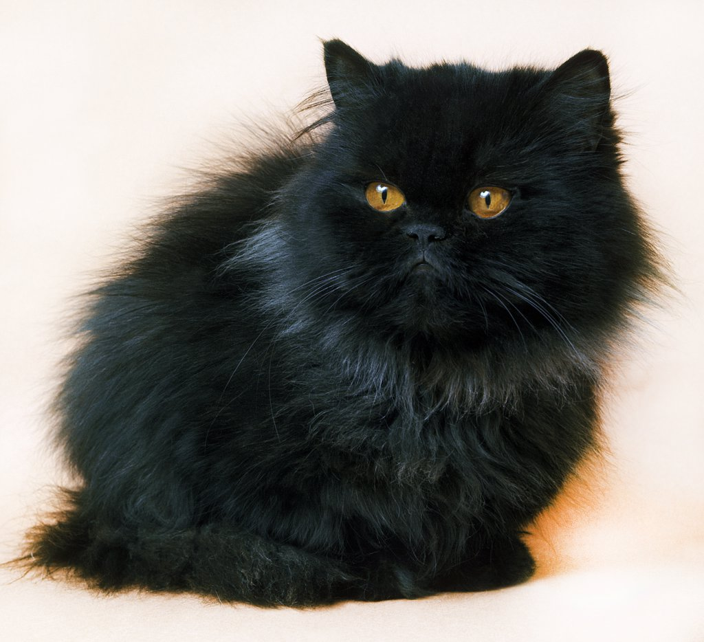 Stock Photo: 4273-10917 Black Persian Domestic Cat, Adult Against White Background