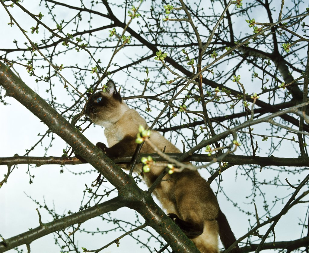 Stock Photo: 4273-10922 Seal Point Siamese Domestic Cat, Adult Standing On Branch