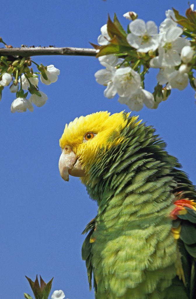 Stock Photo: 4273-10967 Yellow Headed Parrot, Amazona Oratrix, Adult Standing On Branch